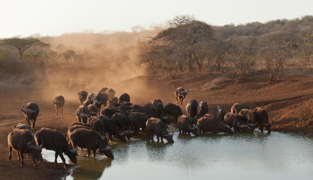 buffalo-235382